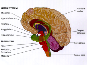"The Limbic System ""Lizard brain"" – SWC Healthcare