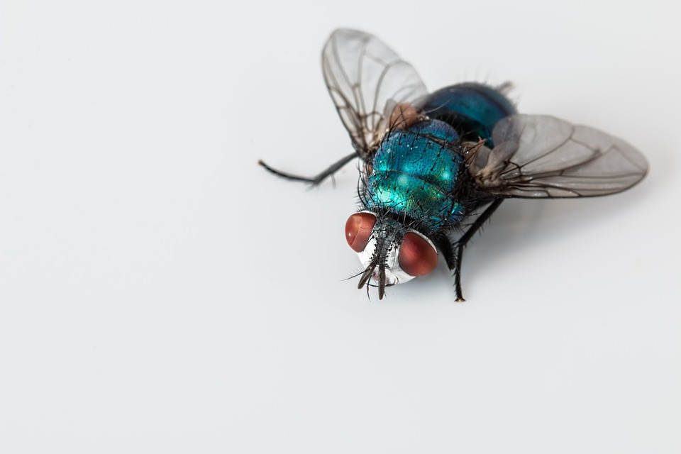 Blowfly Blue Bottle Fly Insect Pest Bug Ugly