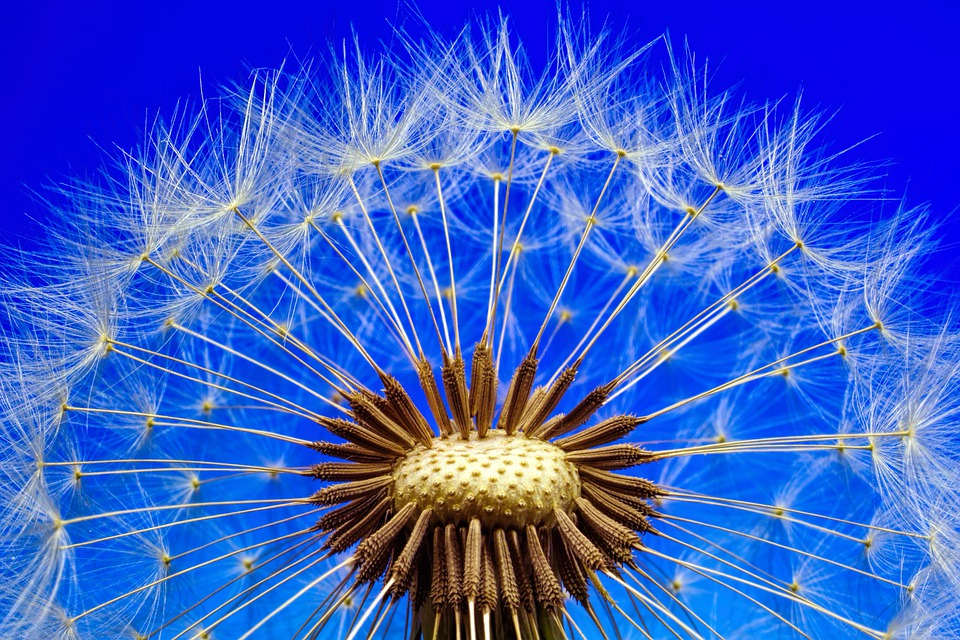 Nature Dandelion Macro Close Flower Plant Seeds