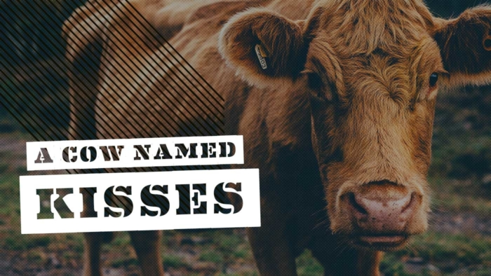 A Cow Named Kisses 700X394