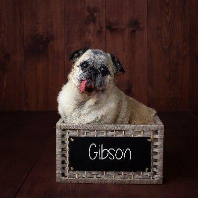 @GibsonThePug