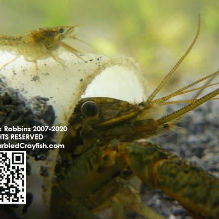 @MarbledCrayfish