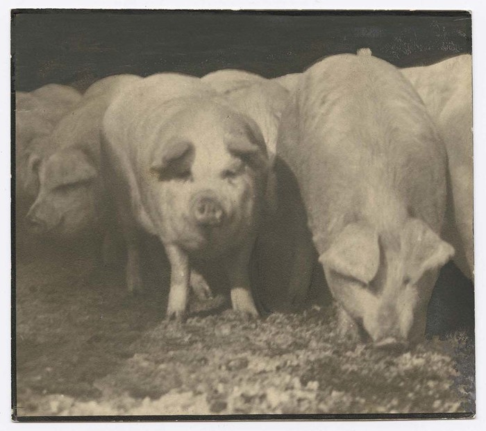 [Pigs at Swift Meat Packing Packington Plant]