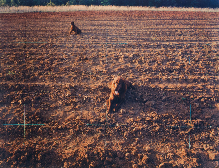 Red Setters in Red Field, Charlotte, NC