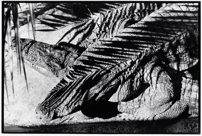 [Two alligators with palm frond shadows]