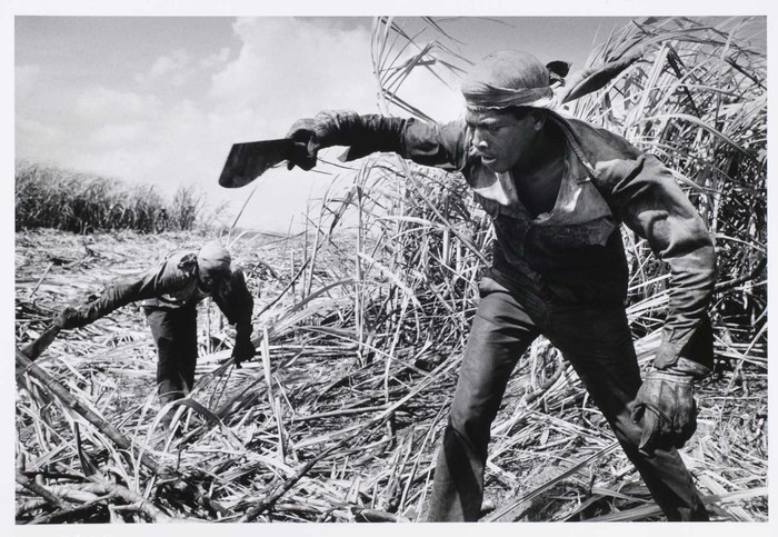 Sugar-cutting brigades work in regions and fields where machines are impractical. More than one-third of Cuban production is hand-cut, and workers receive special bonuses.