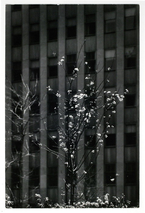 [blossoming tree in front of skyscraper facade]