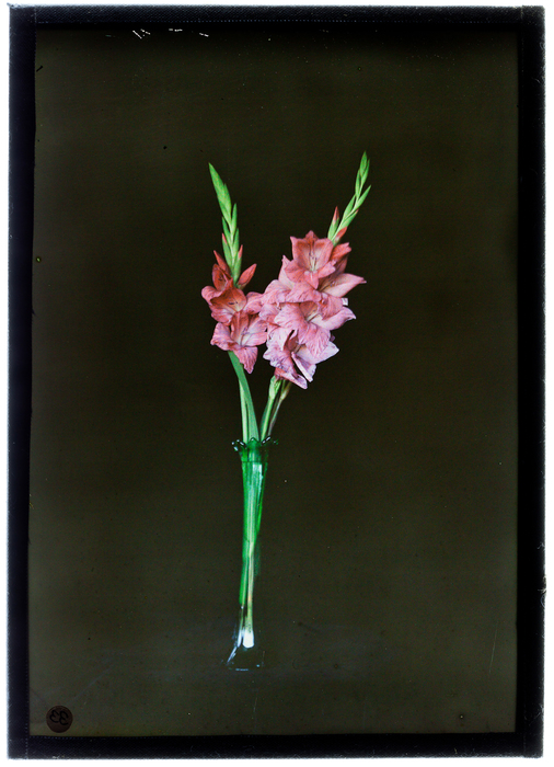 [Gladiolus]