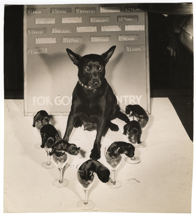 [Dixie Girl and her seven puppies on the pool table at Dixie Rose A.C., New York]