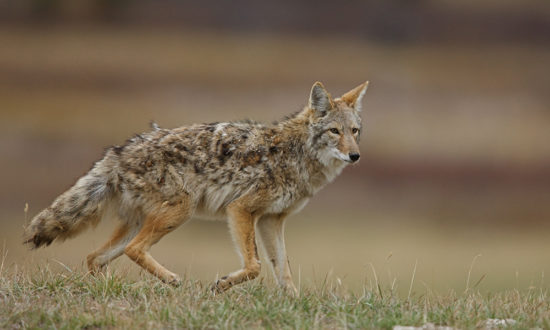 military coyote attack