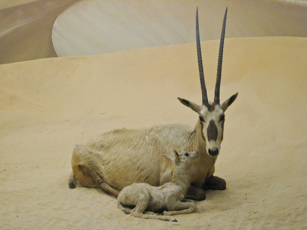 """Arabian Oryx Diorama"" by Sharon Mollerus"
