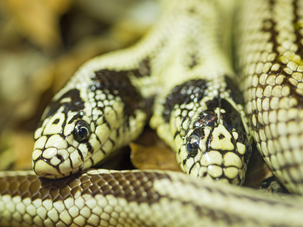 """Two-Headed California King Snake"" by Tambako via Flickr Creative Commons"