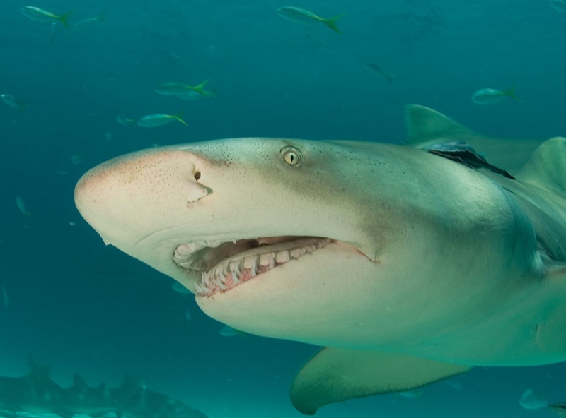 """Lemon Shark"" by Willy Volk via Flickr Creative Commons"