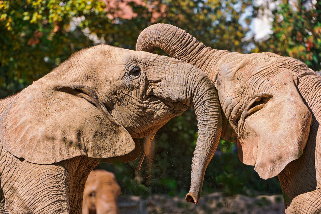 """""""Playing Elephants"""" by Tambako the Jaguar via Flickr Creative Commons"""