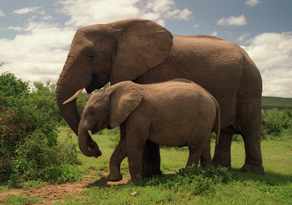 """Addo Elephant National Park"" by Brian Snelson via Flickr Creative Commons"