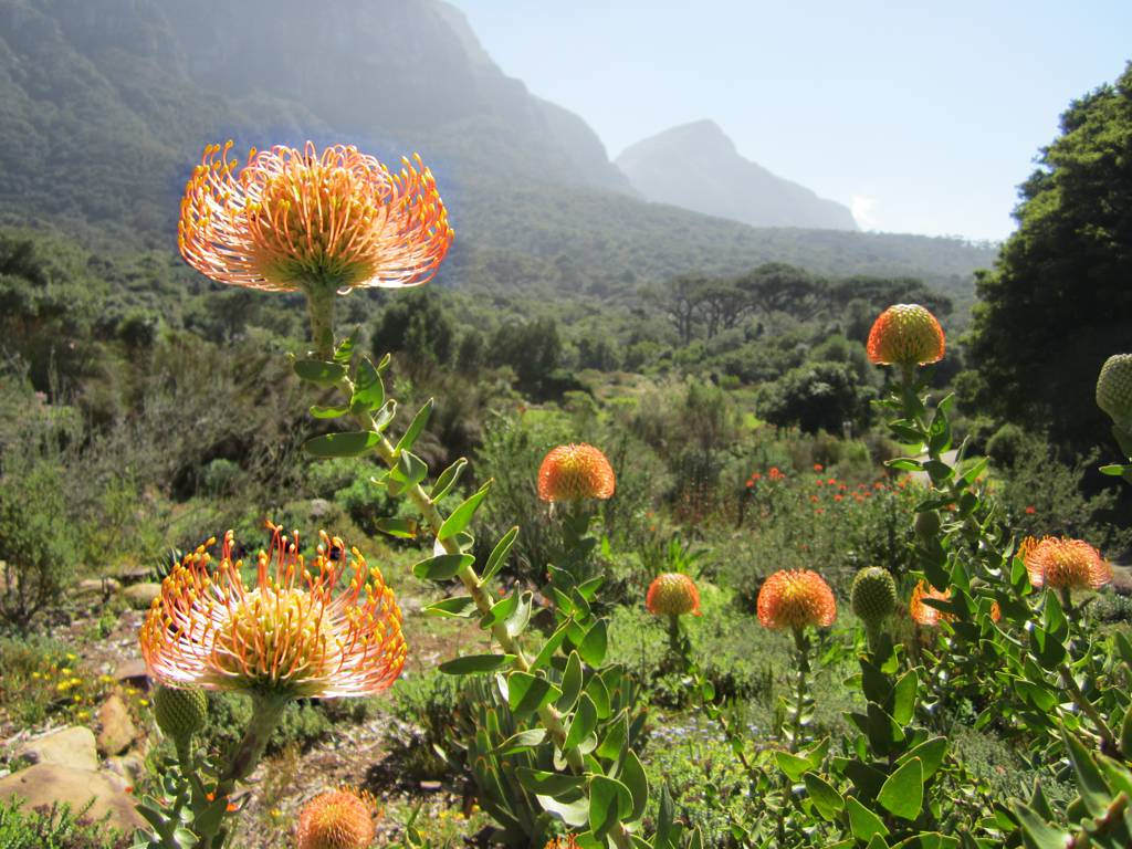 """Pincushion at Kirstenbosch Botanical Gardens"" by David Stanley via Flickr Creative Commons"
