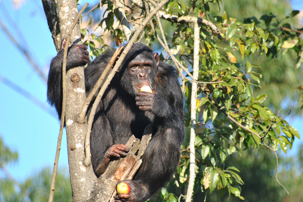 """Chimp Eden Sanctuary - Chimpanzee Eating"" by Afrika Force via Flickr Creative Commons"