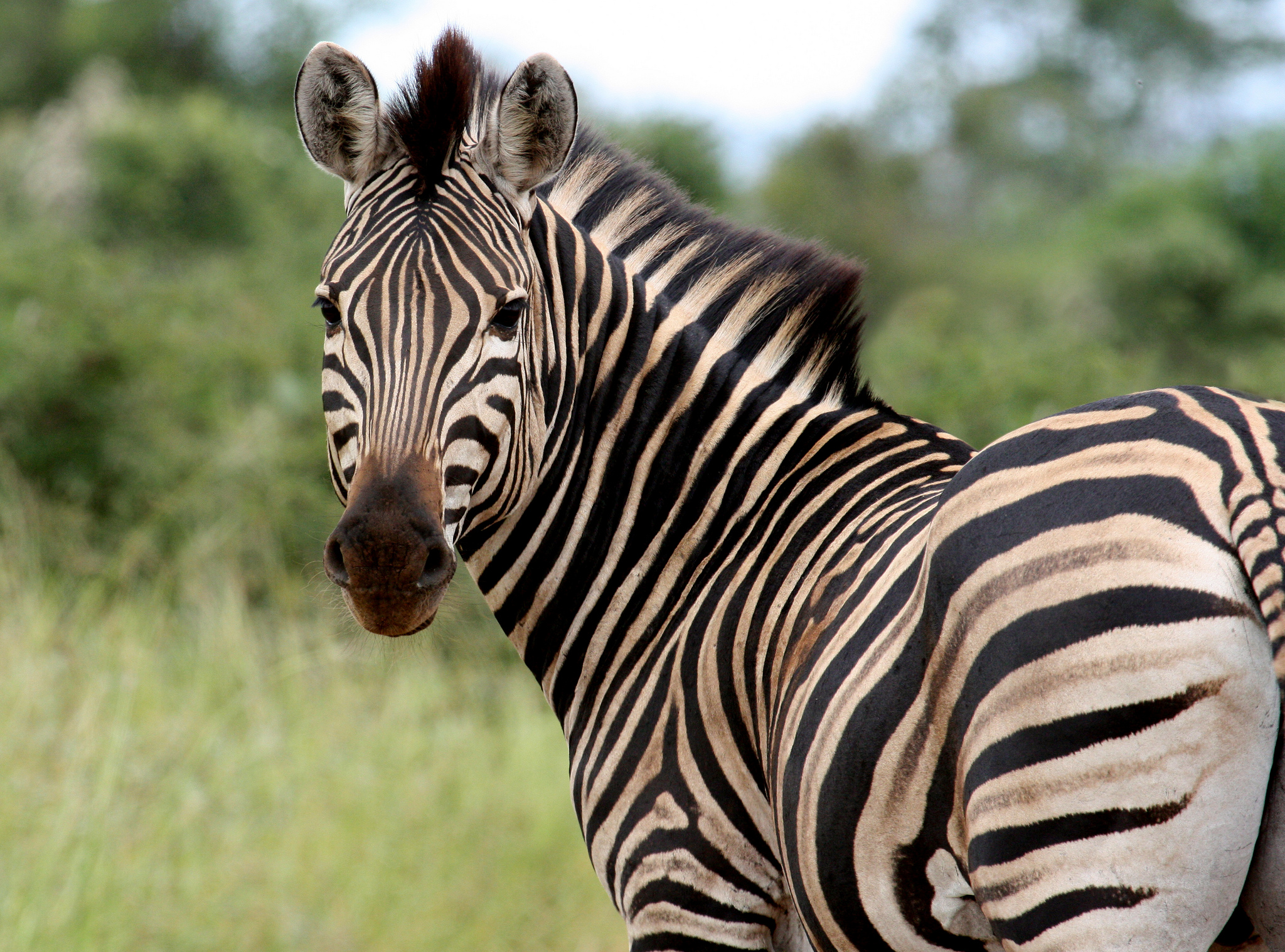 """Zebra Kruger National Park"" by Barbara Eckstein via Flickr Creative Commons"