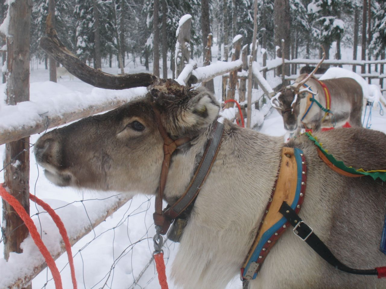 """Reindeer / IMG_7182"" by Karen P. via Flickr Creative Commons"