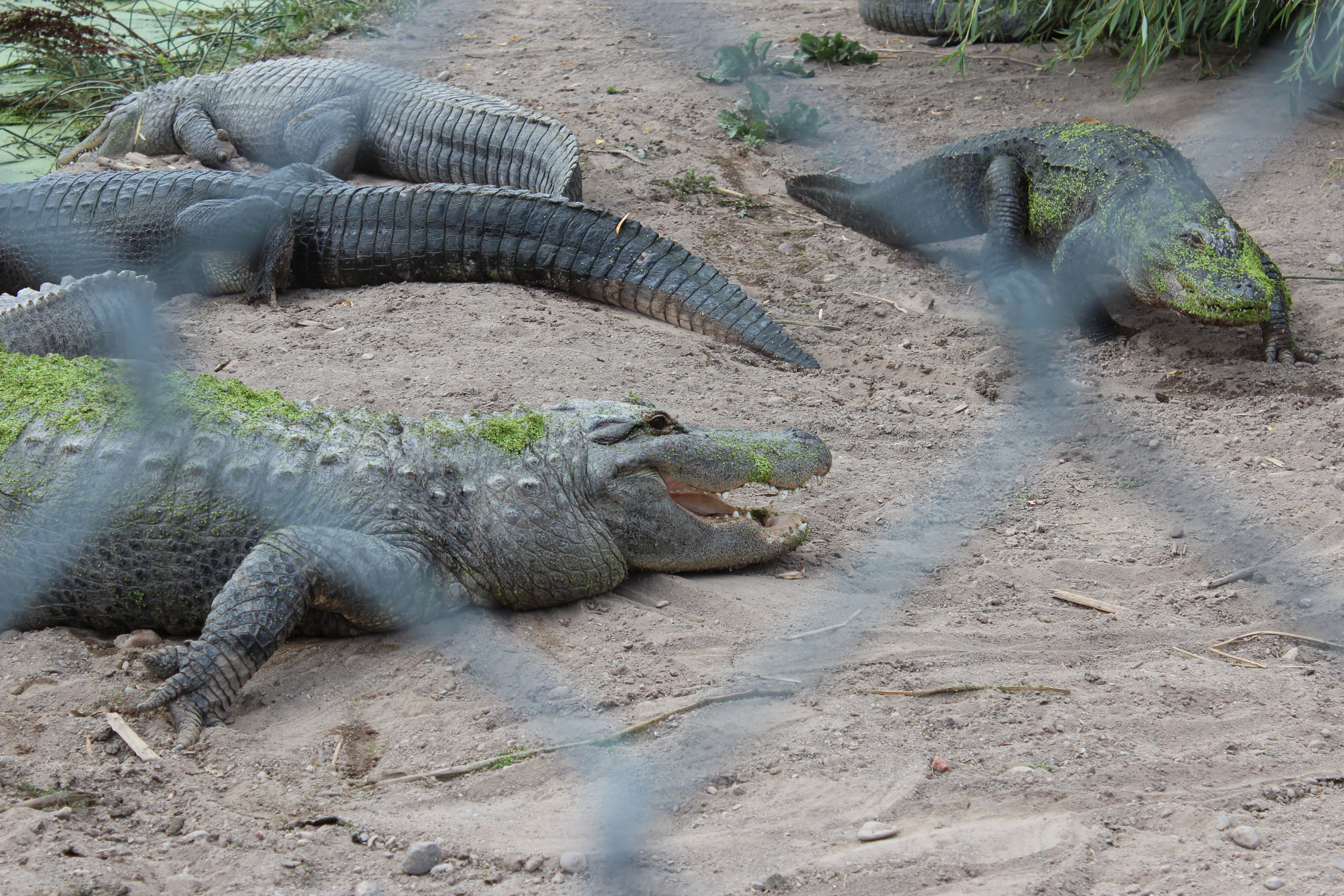 meet gators snakes and reptiles in the world u0027s largest alpine valley