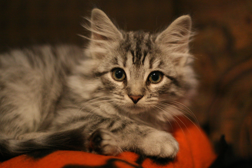 Get to know intelligent and beautiful Siberian cats at the Siberian Cat Cafe in Quebec. Photo Credit: Chris Frank via Flickr
