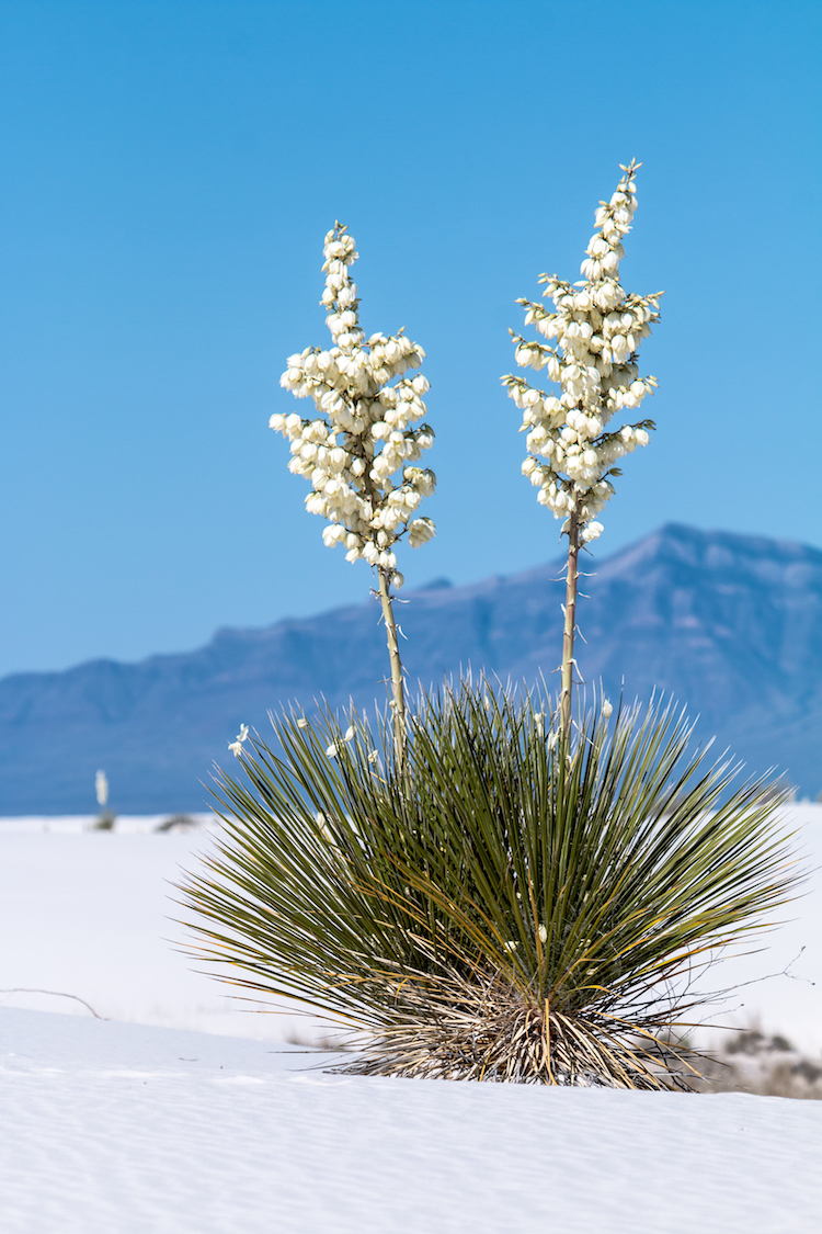 Soaptree Yucca, courtesy of NPS Photo