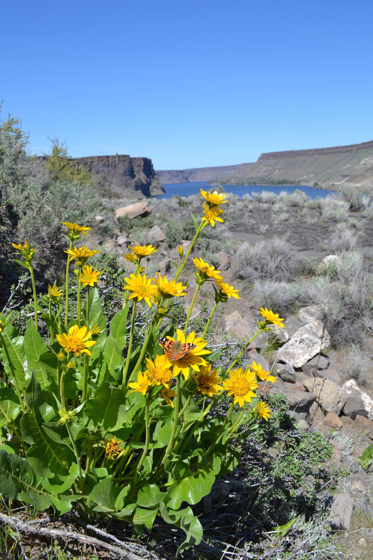 Arrowleaf Balsamroot at Cove Palisades, courtesy of Oregon Parks and Recreation Department