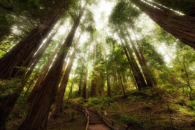 John Muir Redwoods, by Paxson Woebler