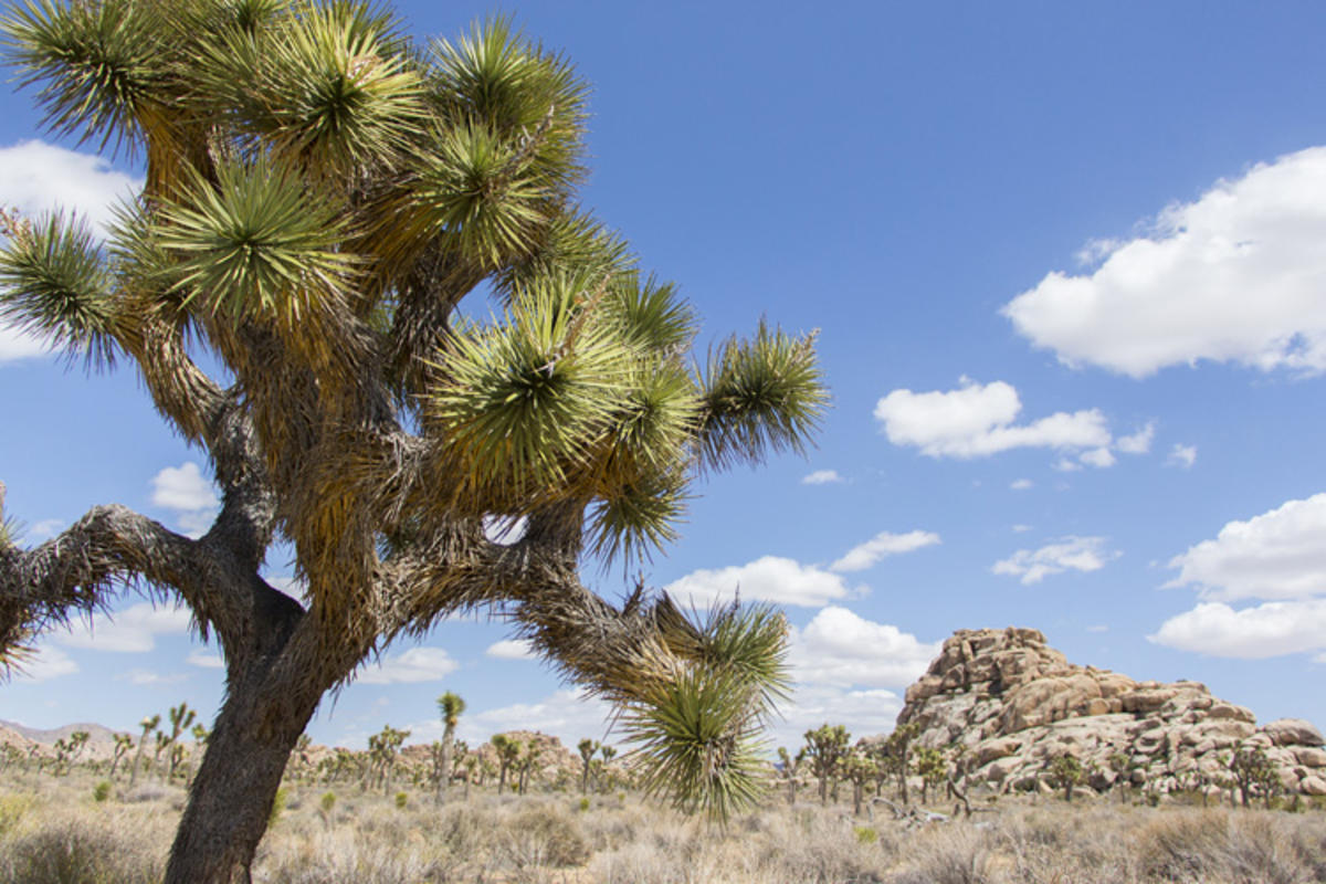 Photo Credit: Joshua Tree National Park