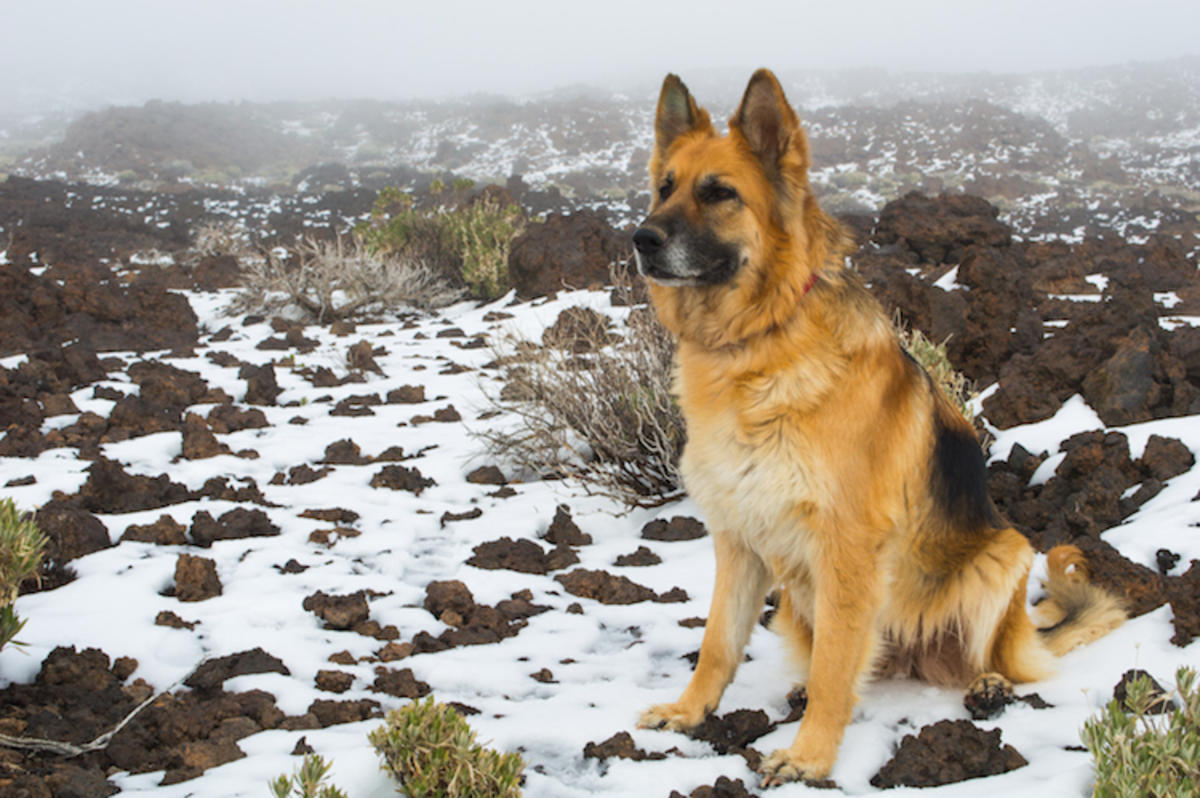 """German Shepherd CALA in Teide National Park "" by Perlaroques via Flickr Creative Commons"