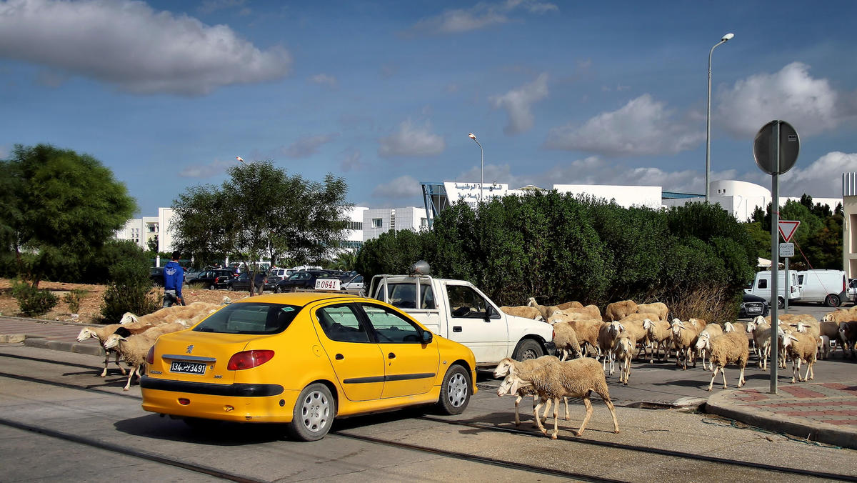 Road in Tunisia with taxi cab and crossing sheep.