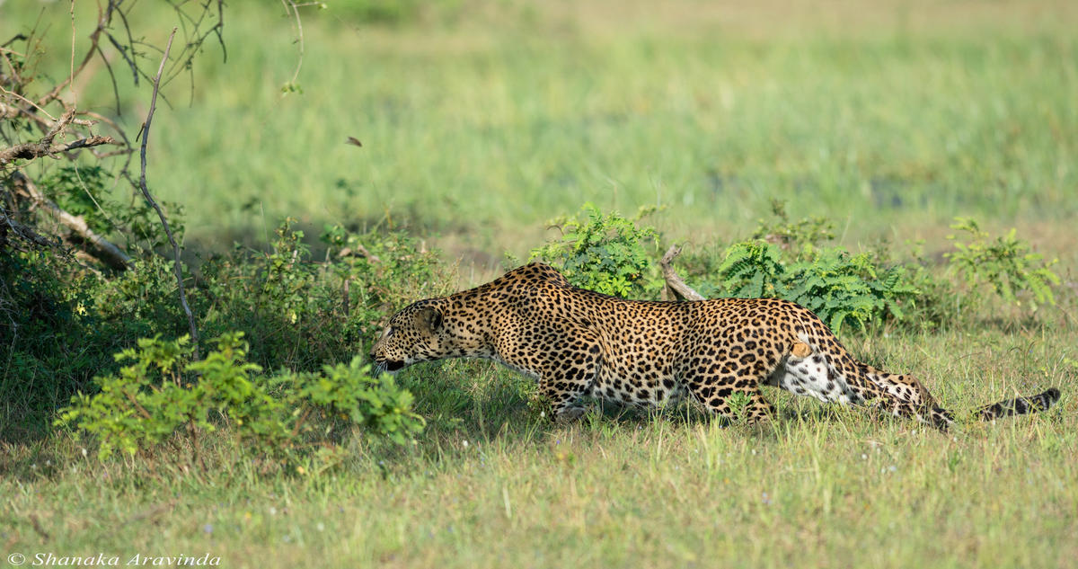 """Sri Lankan Leopard"" by Shanaka Aravinda via Flickr Creative Commons"