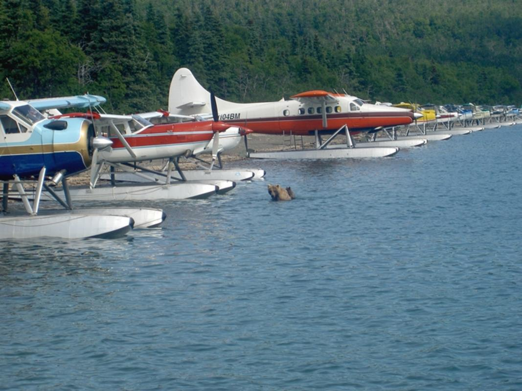 """Sow with Cubs Lost Amidst Floatplanes Naknek Lake"" by U.S. National Park Service via Flickr Creative Commons"