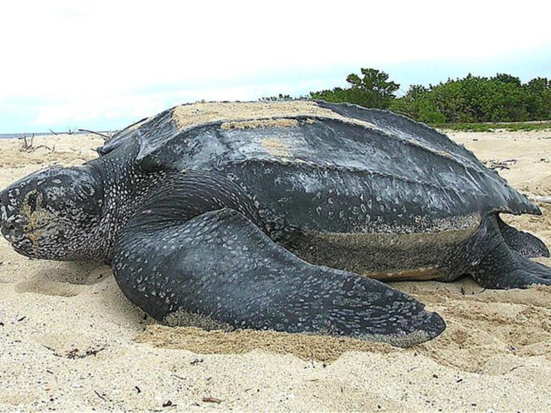Leatherback sea turtle tinglar  usvi %285839996547%29