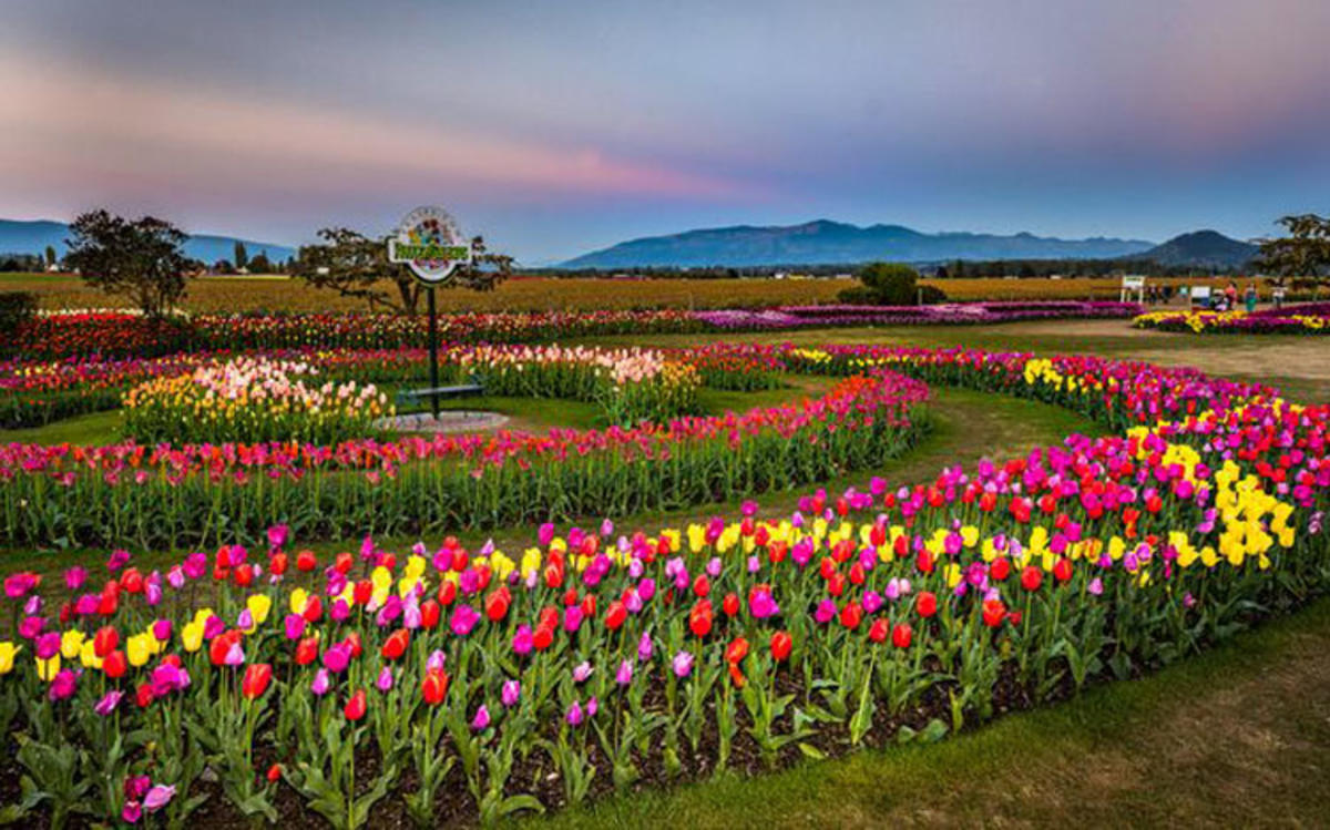 "Photo by ""Skagit Valley Tulip Festival"""