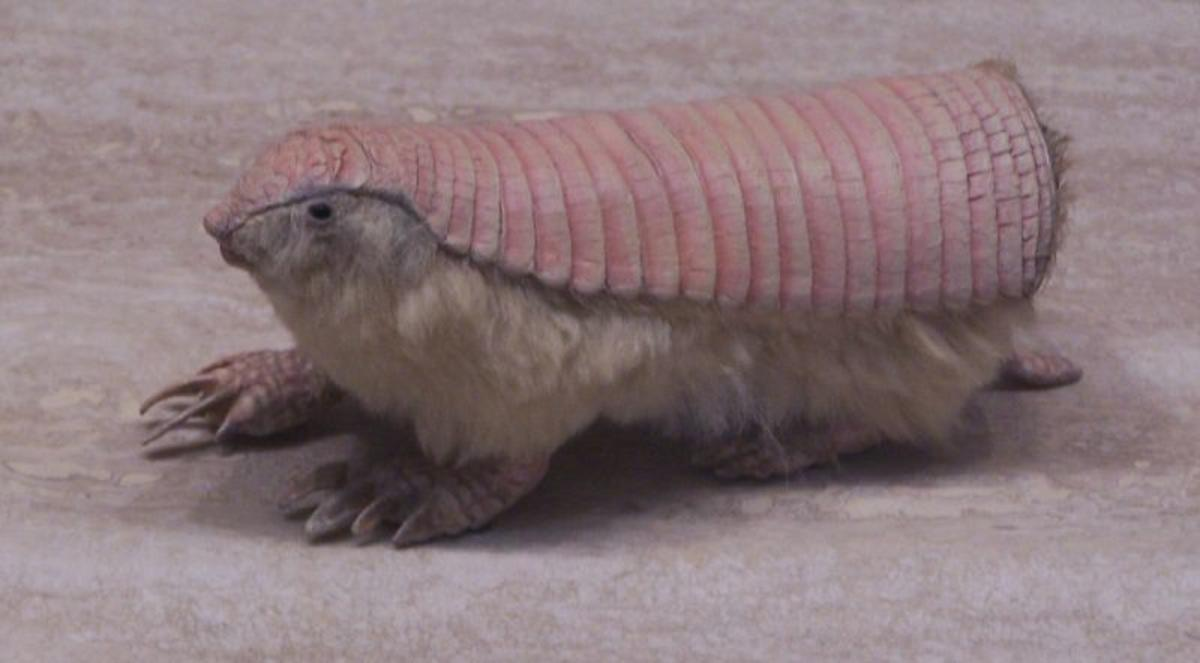 Washington DC--October 18 2007--Museum of Natural History--Pink Fairy Armadillo by Pat McGrath via Flickr Creative Commons