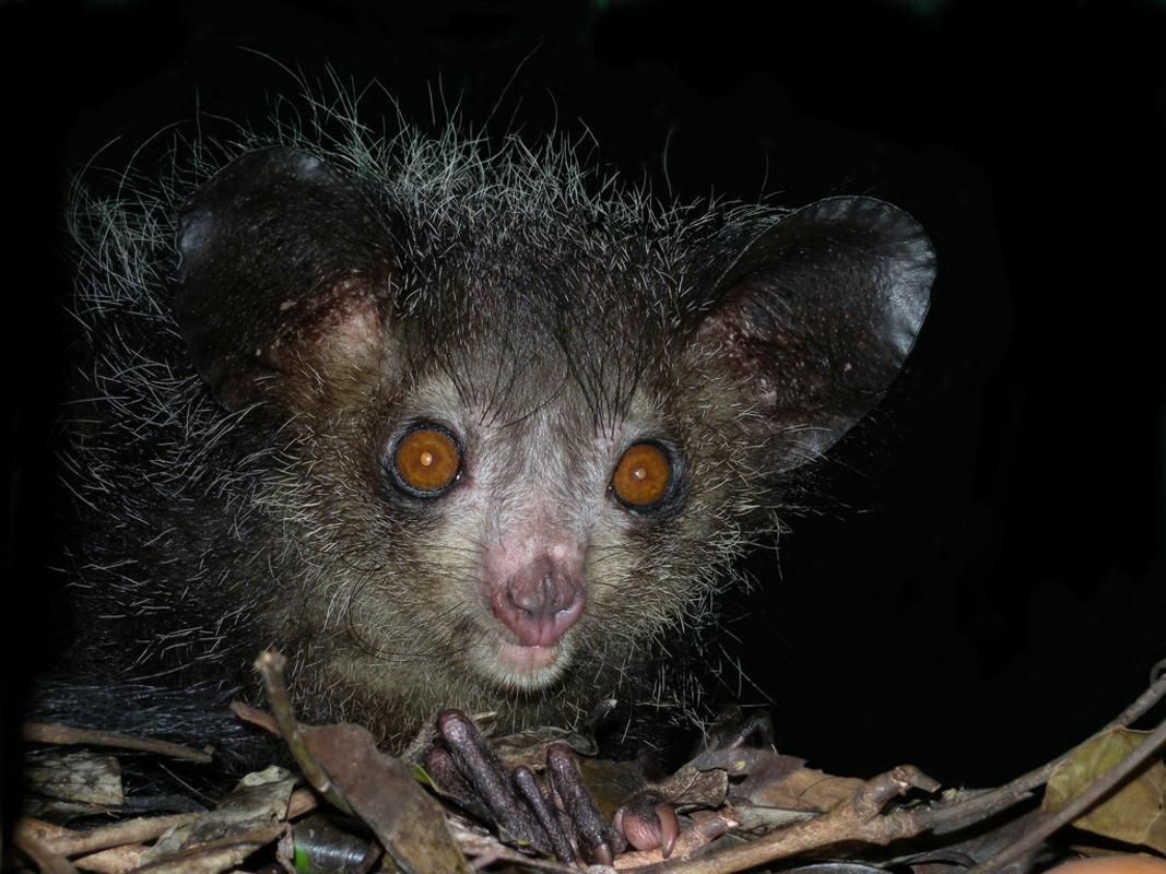 Aye-aye (Daubentonia madagascariensis), Tsimbazaza Zoo, Madagascar by Frank Vassen via Flickr Creative Commons