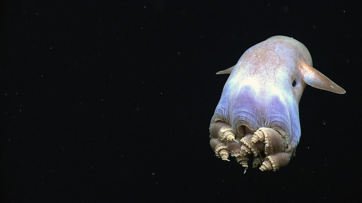 Dumbo Octopus by NOAA Ocean Exploration & Research via Flickr Creative Commons