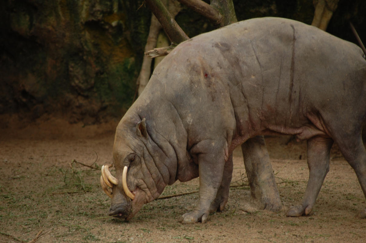 Babirusa by Su-Lin via Flickr Creative Commons