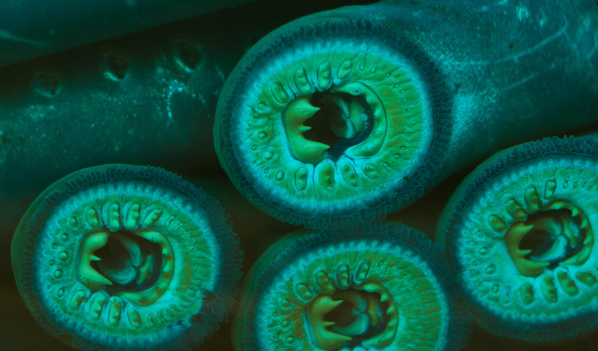 Lampreys by Northwest Power and Conservation Council via Flickr Creative Commons