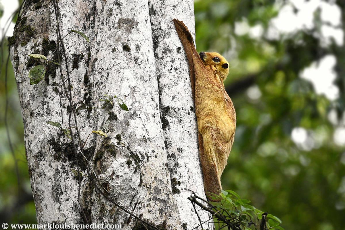 Sunda Colugo / Flying Lemur (Galeopterus variegatus borneanus) by Mark Louis Benedict via Flickr Creative Commons