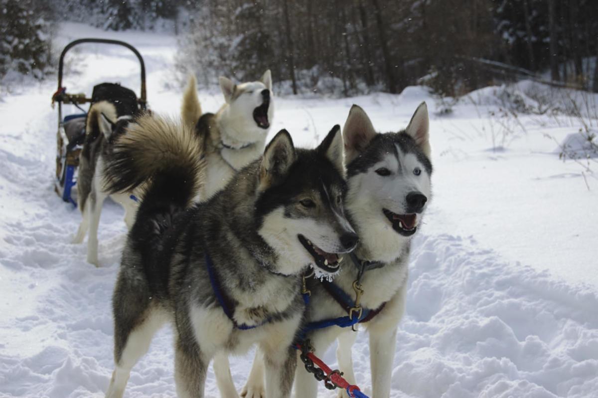 """Winterdance Canada Dog Sledding Huskies"" by EveryDamnNameIsInUse via Flickr Creative Commons"