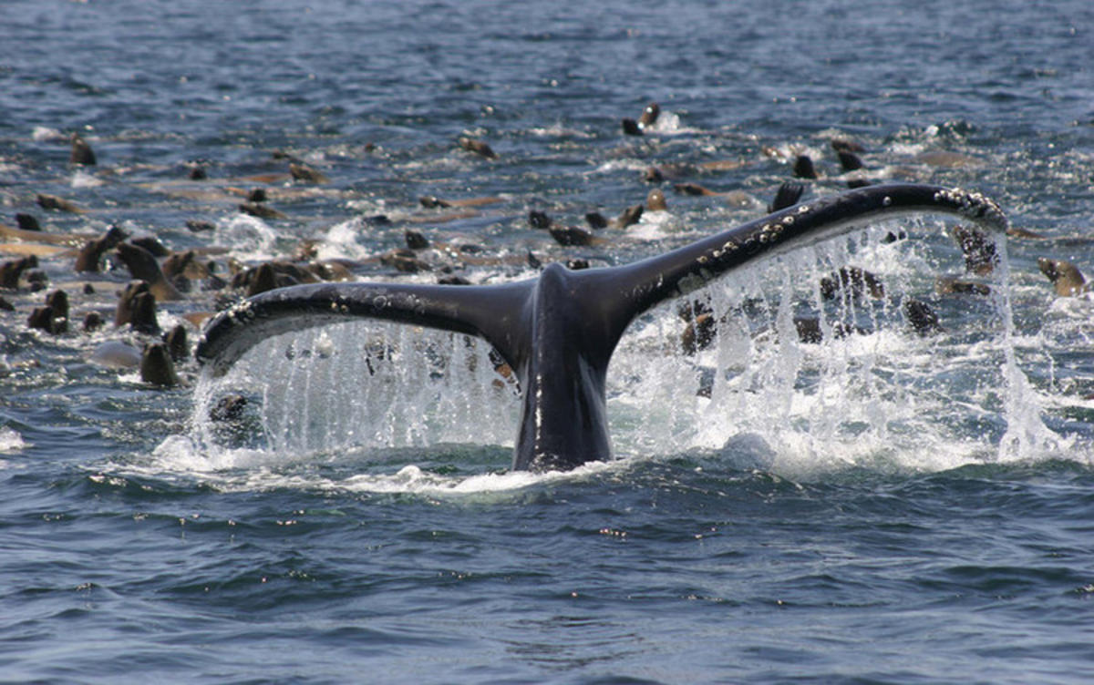 """Feeding Whale"" by NOAA's National Ocean Service via Flickr Creative Commons"