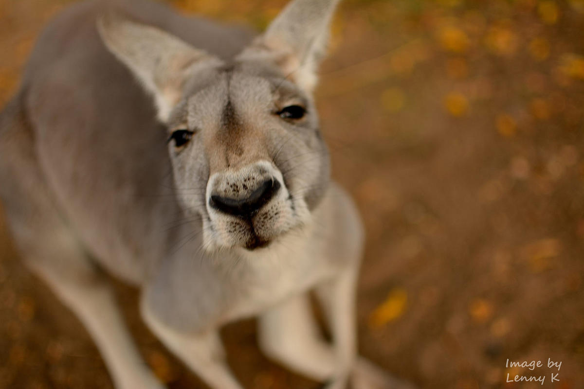 """Kangaroo Selfie"" by Lenny K Photography via Flickr Creative Commons"