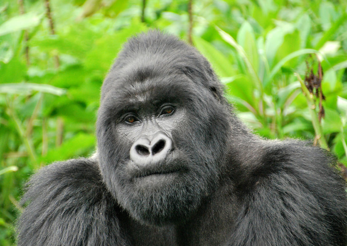 Silverback by Kate via Flickr Creative Commons