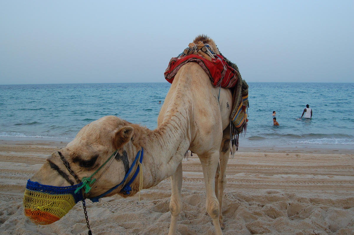Camel in Qatar by Jeff Tollefson via Flickr Creative Commons