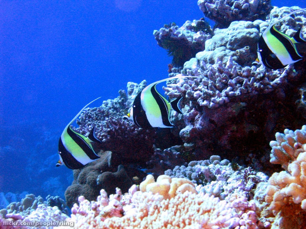 """Moorish Idols"" by Richard Ling via Flickr Creative Commons"