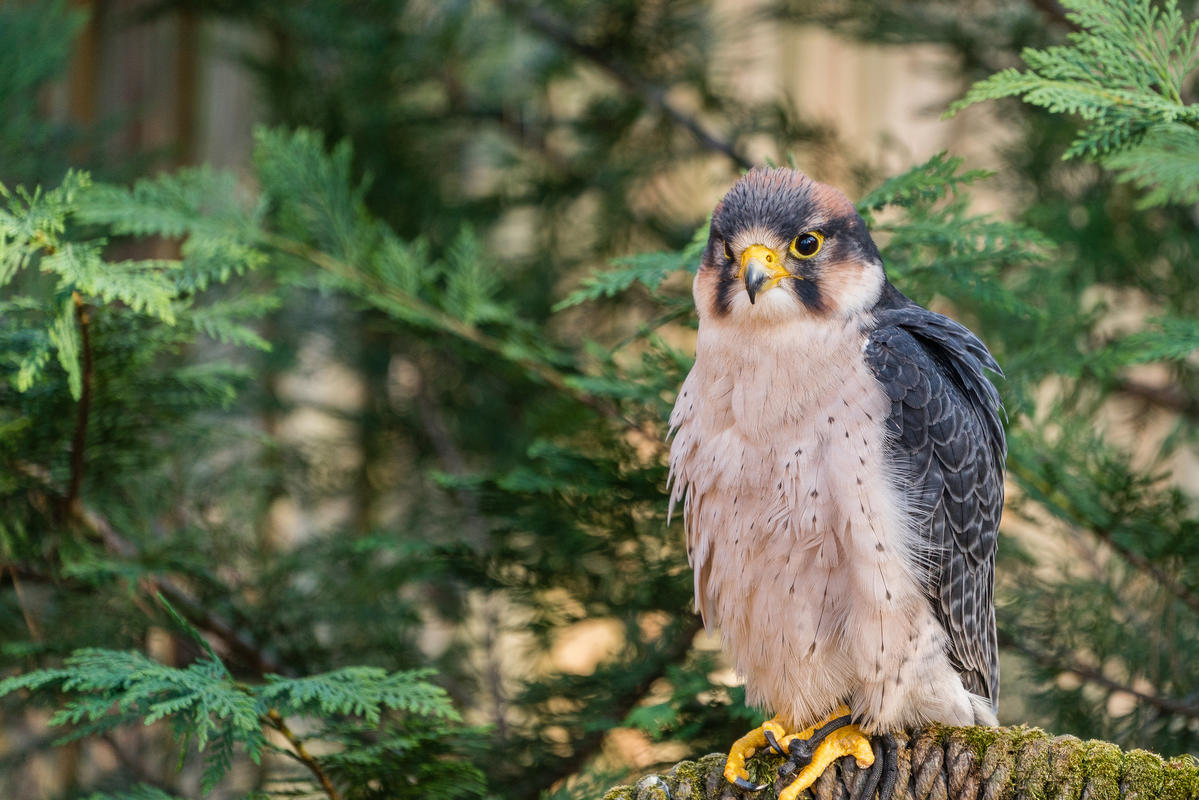 """Carolina Raptor Center"" by John Wenzelburger via Flickr Creative Commons"