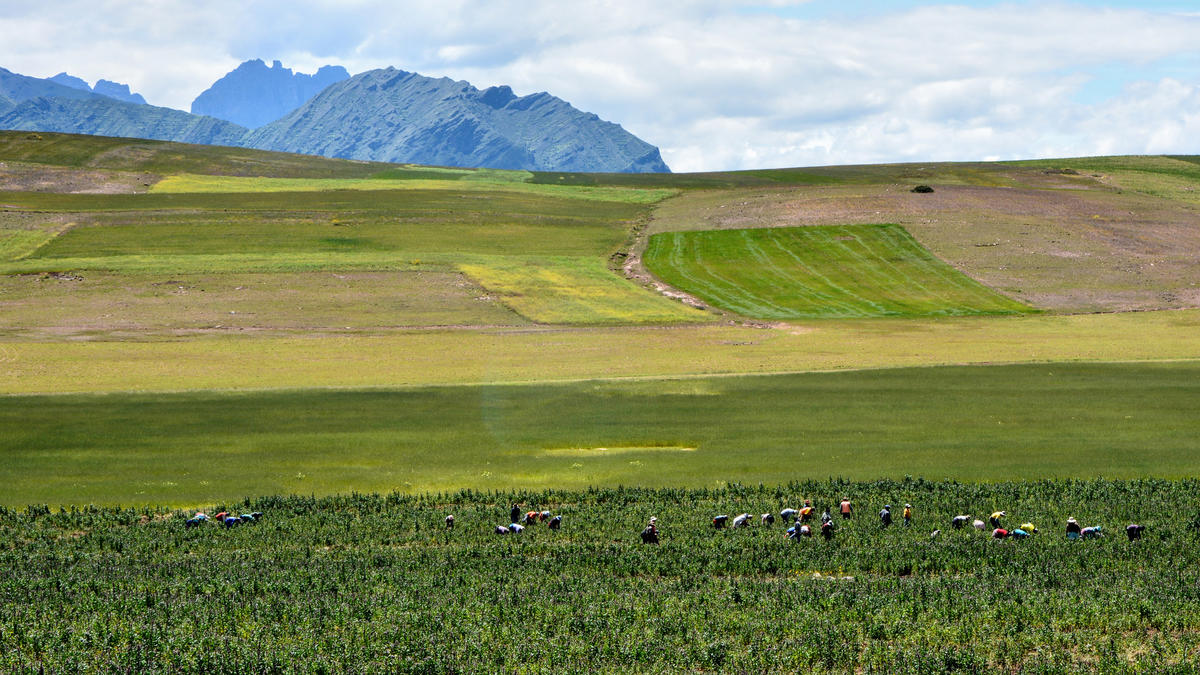 Cosecha de quinoa - Peru by Mariano Mantel via Flickr Creative Commons