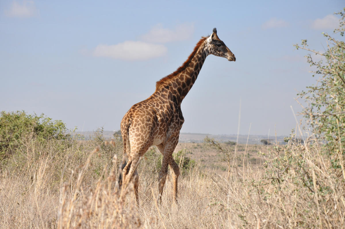 Giraffe - Nairobi National Park Photo by Jorge Láscar via Flickr Creative Commons